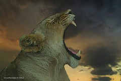 Combo (Arno Meintjes Wildlife) Tags: wallpaper art lion combo pantheraleo arnomeintjes