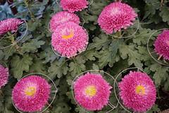 chrysanthemum (ddsnet) Tags: plant flower sony taiwan resolution taipei    chrysanthemum  ilc    7r   mirrorless  interchangeablelenscamera 7r ilce7r shilinresidencechrysanthemumfestival