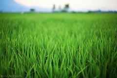 13122211 (ojang jerry) Tags: plant green nature field eos 50mm paddy outdoor sigma lush ricefield flourish 5d2 gettychina13q3