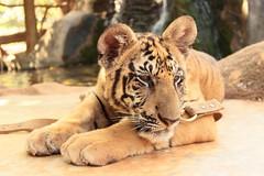(Sitile) Tags: animal thailand tiger tigre