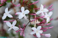 Jasmine (mcshots) Tags: california flowers winter plants usa nature floral flora jasmine stock vine growth socal blooms mcshots losangelescounty