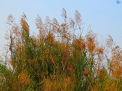 1IMG_3982 WILD BUSHES IN OKHLA BIRD SANCTUARY IN NOIDA INDIA (Rajeev India (THANKS for views, comments n faves)) Tags: wild noida india bird bushes sanctuary in okhla
