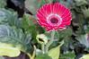 (kuuan) Tags: flower 85mm olympus vietnam mf f2 tet saigon zuiko manualfocus hcmc fzuiko f285mm olympusfzuikoautotf285mm