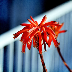 boundaries (1crzqbn) Tags: flowers sunlight color texture nature fence square aloe shadows bokeh 7d boundaries hff thankyouflickr 1crzqbn vision:outdoor=051