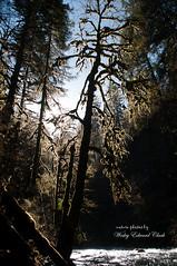 Backlit tree III (Photos by Wesley Edward Clark) Tags: trees oregon silverton molalla scottsmills abiquacreek abiquafalls