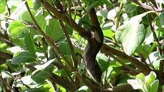 Lizard, Waikiki, Honolulu, Hawaii 3/4/14 (LJHankandKaren) Tags: waikiki lizard honolulu