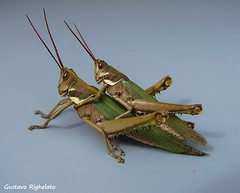 langostas / Orden Orthoptera, Familia Acrididae (Gustavo Righelato) Tags: orthoptera langosta acrididae tucura