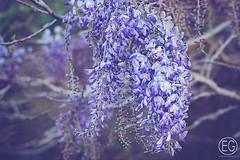 "M4H17/52 ""Pastel"" (beth.oliver) Tags: floral 50mm soft pastel blooms challenge wisteria m4h"