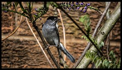 Blackcap - Male (davidrhall1234) Tags: warbler blackcap flickrsportal
