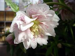Helleborus (dietmut) Tags: flowers nederland thenetherlands bloemen sonycybershot helleborus zuidholland rhoon 2015 albrandswaard sonydsct200 dietmut januarijanuary yourfavorites111