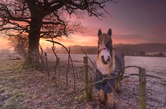 My Little Sunrise Pony (Captain Nikon) Tags: winter nature misty sunrise dawn frost frosty pony atmospheric equine hemington sigma1020mmf4 nikond7000