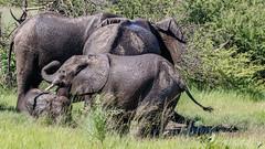 Elephants (Bob Gunderson) Tags: wildlife elephants botswana mammals southernafrica kwara okvangodelta canoneos7dmarkii