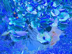 "P1190204 ""Les Fleurs du males"" I APS (APS Lilienthal) Tags: reflection gras blau bltter spiegelung seerosen seerosenteich"