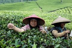 tea pickers, java 2013 (zoltanpalmai) Tags: 35mm indonesia java nikon tea teapickers d700