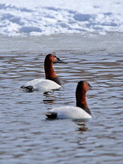 Canvasback (Tyr-Sog) Tags: winter cold ice duck michigan cropped canvasback 6f 600mm canoneos6d tamronsp150600mmf563divcusd