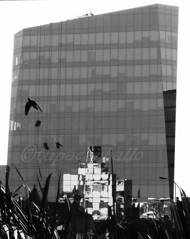 VUELO SIN REFLEJO. MIRAFLORES. PER. (tupacarballo) Tags: canon blackwhite lima edificio paloma per miraflores reflejos blanconegro tupacarballo