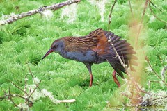 endemica, Bogota Rail,  tingua bogotana ,Rallus semiplumbeus (OSWALDO CORTES -Bogota Birding and Birdwatching Co) Tags: endemica rallussemiplumbeus bogotarail tinguabogotana