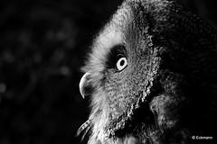 Glowing Eye (Nephentes Phinena ☮) Tags: internationalblackwhitechallenge wildparkeekholt bartkauz greatgreyowl bird birds animals