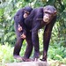 """Chimpansee • <a style=""""font-size:0.8em;"""" href=""""http://www.flickr.com/photos/128593753@N06/16535270691/"""" target=""""_blank"""">View on Flickr</a>"""