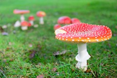 The Sacred Mushroom (t.mcivor) Tags: fly agaric muscaria aminita