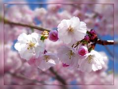 Zuckersüße Blüten (Mariandl48) Tags: austria steiermark zierkirschenblüten zierkirschen wenigzell
