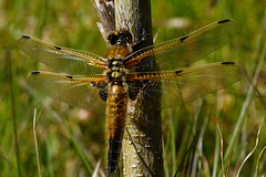 DSC04522 - Four spotted Chaser (steve R J) Tags: four dragonfly reserve british spotted chaser fingringhoe odonata ewt