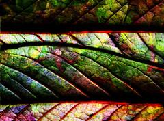 Just leaves (catkin314) Tags: light colour macro leaves closeup pattern multipleexposure leavesonleaves