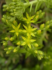 (nofrills) Tags: flowers plants plant flower green floral yellow star flora urbannature sedum