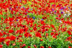 Dancing poppies ((Virginie Le Carr)) Tags: poppies coquelicot champs fields rouge vert bleu blanc party fte pauselongue longexposure red blue white green flou softfocus printemps spring dancing dansant ledolron