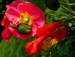 Poppies (yantrax) Tags: lighting flowers light red summer sun flower color macro nature floral colors closeup garden licht spring pattern natural bright blossom outdoor sony natur pflanze poppy poppies bloom buds bud blume blte heiter flowersarefabulous infinitexposure organischesmuster