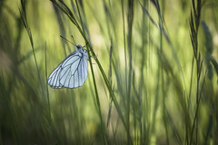 Jungle (Mathieu Calvet) Tags: blur macro nature butterfly pentax bokeh 100mm papillon blured flou k3 languedocroussillon hrault herbes aporiacrataegi aporia crataegi gaz fa100macro