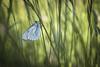 Jungle (Mathieu Calvet) Tags: blur macro nature butterfly pentax bokeh 100mm papillon blured flou k3 languedocroussillon hérault herbes aporiacrataegi aporia crataegi gazé fa100macro