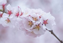 Blossom Clouds (~DGH~) Tags: pink flowers canada macro spring blossoms alberta april l cherryblossoms 2016 edmonon smcpentaxdfamacro100mmf28 ~dgh~ pentaxk50