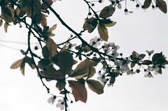 Bloom. (Paul_Munford) Tags: tree london film leaf blossom minoltax700 grain vista analogue agfa poundland 2oo mcrokkor rokkor58mm18