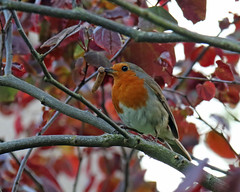 The Early Bird (Treflyn) Tags: bird robin severn worcestershire worm upon upton