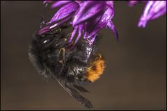 Garden Miner Bee 2 (Darwinsgift) Tags: macro garden nikon d insects micro nikkor speedlight f4 200mm sbr200