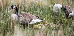 Grazing - Day 6 - and a watchful parent ! (Richard W2008) Tags: nature beauty scotland goslings canadagoose brantacanadensis scottishwildlifetrust cathkinmarshwildlifereserve