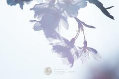 Still Beautiful - 8474 (webzer) Tags: flowers flower nature japan asia cherryblossom sakura takayama gifu againstthelight webzer akosizer zercabatuan