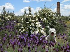 La Sierra  Norte... (elena m.d.) Tags: primavera westy pradera campoflorido jaras floressilvestres floresblancas floresmoradas cantueso