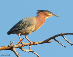 GREEN HERON (sea25bill) Tags: california morning sun bird nature animal spring wildlife bluesky perch greenheron