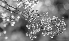 diamonds (Fay2603) Tags: white plant black nature water monochrome diamonds grey blackwhite bush wasser outdoor natur pflanze grau raindrops lightning waterdrops shining schwarz busch schrfentiefe weis leuchten schwarzweis fujixt1