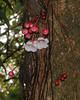 Saurauia sp (Cerlin Ng) Tags: flowers trunk bellflowers saurauia actinidiaceae cauliflorous saurauiarubens