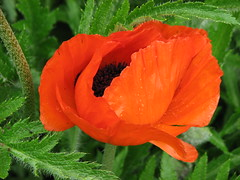 Poppy (AmyWoodward) Tags: poppy fantasticflower