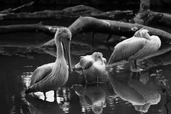 THREE'S A CROWD (natascha_huls) Tags: morning portrait blackandwhite pet sunlight reflection tree bird nature water monochrome birds animal animals closeup forest river outside outdoors grey zoo mirror woods shadows noiretblanc outdoor hiking wildlife birding feathers feather sunny symmetry reflects zoology