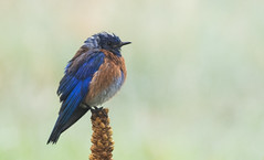 Western Bluebird (Wild Bird Company) Tags: birdseed westernbluebird sialiamexicana birdwalk skunkcanyon cityofboulderopenspaceandmountainparks nealzaun wildbirdboulder wildbirdcolorado westernbluebirdboulder westernbluebirdcolorado wildbirdcompany formerwildbirdcenter