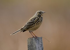 Meadow Pipit, 2. (jimbrownrosyth) Tags: