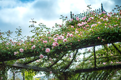 2016 Rose Garden (shinichiro*@OSAKA) Tags: flower spring may jp  yokohama kanagawa crazyshin pergola 2016    planart1450zf nikond4s  20160510ds31911