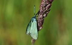Ampfer-Grnwidderchen (Adscita statices) (Hugo von Schreck) Tags: macro butterfly insect moth falter makro insekt schmetterling motte onlythebestofnature tamron28300mmf3563divcpzda010 canoneos5dsr hugovonschreck