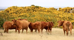 Cows and Calves Flowering Gorse  Te Whanga Lagoon Chatham Island New Zealand (eriagn) Tags: travel newzealand panorama sculpture plant history abandoned nature animal rock landscape photography ancient sandstone cattle cows farm seagull colonial overcast lagoon erosion pasture limestone flowering historical weathered remote rusting maori dairy tribe shag isolated tomo fossils invasive gorse missionaries dumped moriori chathamislands introduced chathamisland natureabstract tewhangalagoon rekohu ngairehart wharekauri whalersandsealers