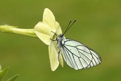 Black-veined White - Aporia crataegi (Roger Wasley) Tags: butterfly europe european britain butterflies british rare extinct blackveinedwhite aporiacrataegi